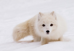 loveablefoxes:  Arctic Fox