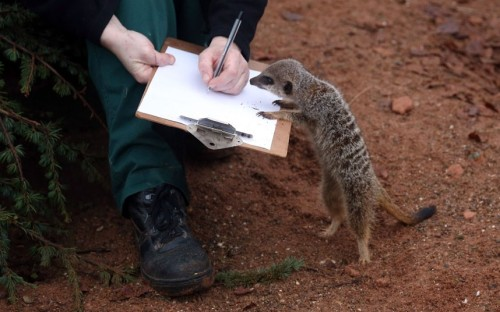 Keeper Sarah Hall helps count some of the meerkats as part of the annual stock take at Bristol Zoo.  Picture: Matt Cardy/Getty Images