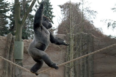 A gorilla named Kidogo balances on a rope at the zoo in Krefeld, Germany.  Picture: EPA/Magnus Neuhaus