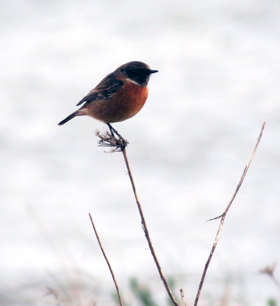 A little Stonechat perched on a twig at Slapton.