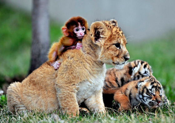 A Baby Monkey, Lion Cub and a Couple of Tiger Cubs walk into a bar…