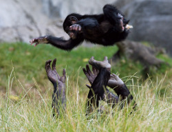 Bonobos are more likely than chimps to have concern for each other. New Scientist reviews The Bonobo and the Atheist by primatologist Frans de Waal. (Image: ZSSD/Minden Pictures/FLPA)