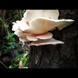 brownfeathers:  #mushrooms 🍄🌿🍂🌾