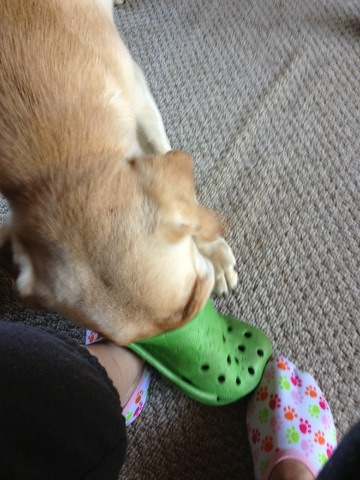 srewollofnu:  MY DOG GOT HIS FACE STUCK IN MY MOM'S CROCS