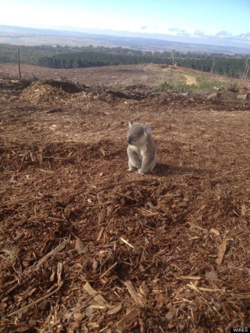 alwaysadoptngovegan:  Koala Photo Shows Forest Destroyed By Loggers, Animal's Heartbreak After Losing Home This koala had the worst day ever. The little guy wandered back to his home in New South Wales, Australia last week only to find it had been cut down and chipped by logging operations. A volunteer with WIRES, a rescue operation licensed by the NSW National Parks and Wildlife Service, said the koala had been sitting on top of the wood pile for over an hour looking confused, the Daily Telegraph reported. He was later taken to a local veterinarian and released near an established colony, but the heartbreaking photo shows some of the hardships faced by the animals over the past few years. Severe habitat destruction and the spread of a deadly chlamydia outbreak have decimated populations and the Australian government declared the species threatened in some areas for the first time last year.  :( He looks so sad, lost, & confused. Poor fella!