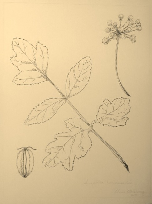 pen & ink botanical sketch by ~ c.n. o'mahony  ~angelica hendersonii - angelica  california usa  2013
