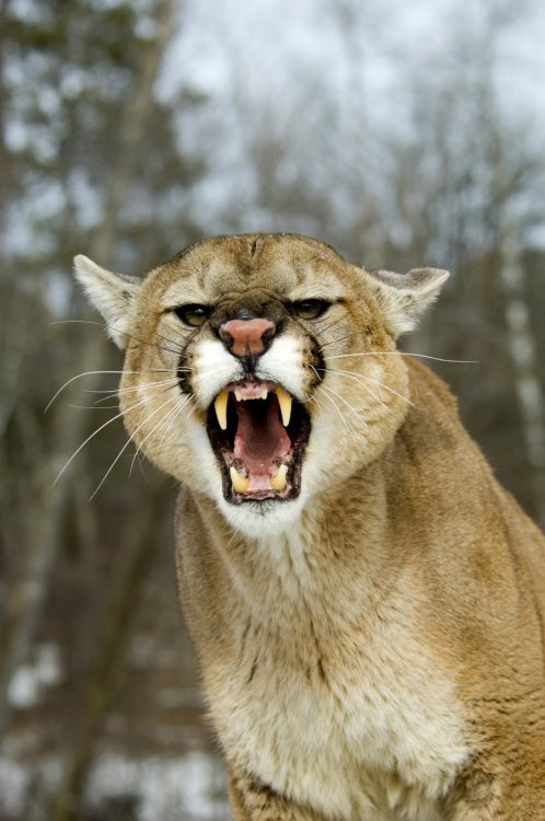 animals-are-hype:  mountain lion with attitude by ~pauleskew