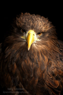 deviantbirds:  Eagle in the Dark by *Shadow-and-Flame-86 Sima the White Tailed Sea Eagle at the Kielder Water Bird of Prey Center, amazing bird to see up close!Copyright © KJR wildlife photography. All rights reserved to Kelly Robinson