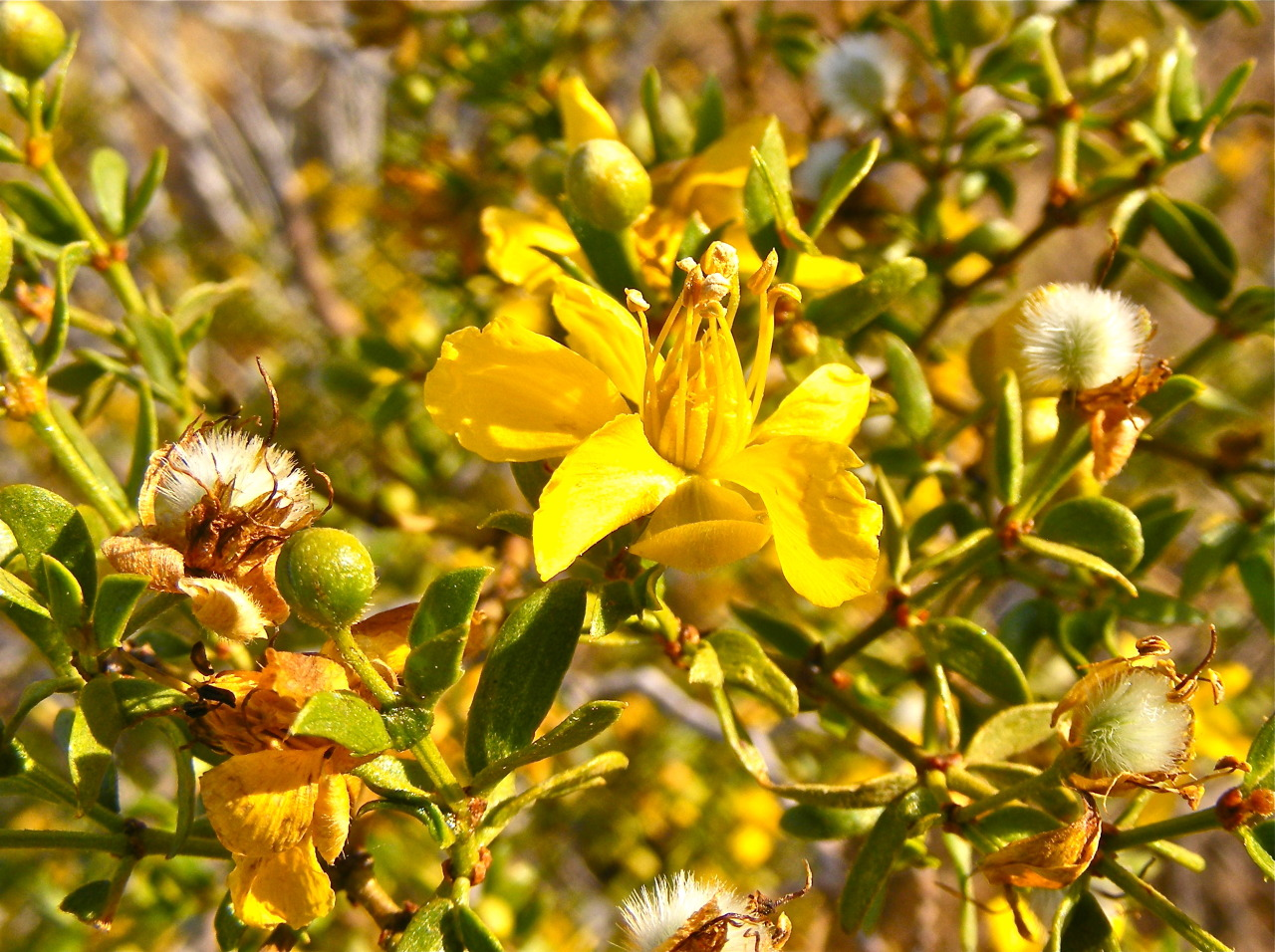 Creosote in Bloom   Reach 11 Phoenix, AZ