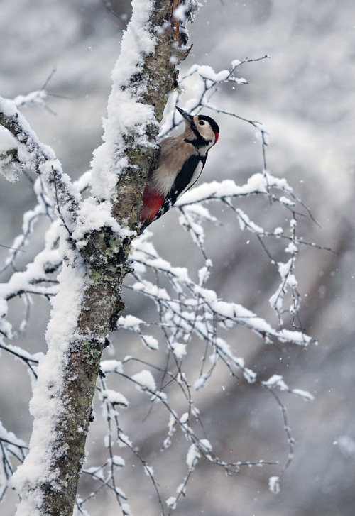 7000stars:  Great Spotted Woodpecker on snow covered tree (by Margaret J Walker)