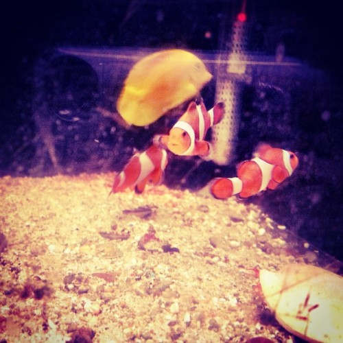 But I found #nemo #fish #aquarium #lategram