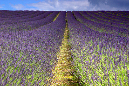 Hitchen Lavendar (Explored) By jankmarshall on Flickr.