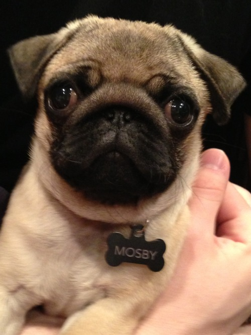 I've been following your blog for quite some time now. I've had pugs growing up and they're long gone now, but I couldn't stay away. I got this little guy in the beginning of March and he's the perfect addition to our family! I think it's time that the tumblr world gets the chance to enjoy him as much as I do! Meet Mosby! submitted by Shana