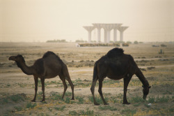 mediterraneum:  Camels graze in the desert, striped water towers are in the back, Kuwait.