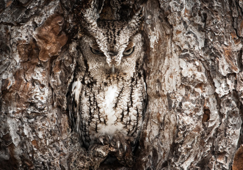 funkysafari:  Masters of disguise. The Eastern Screech Owl is seen here doing what they do best. You better have a sharp eye to spot these little birds of prey. by Graham McGeorge
