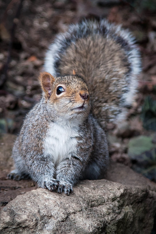 Squirrel (by Justin Lo Photography)