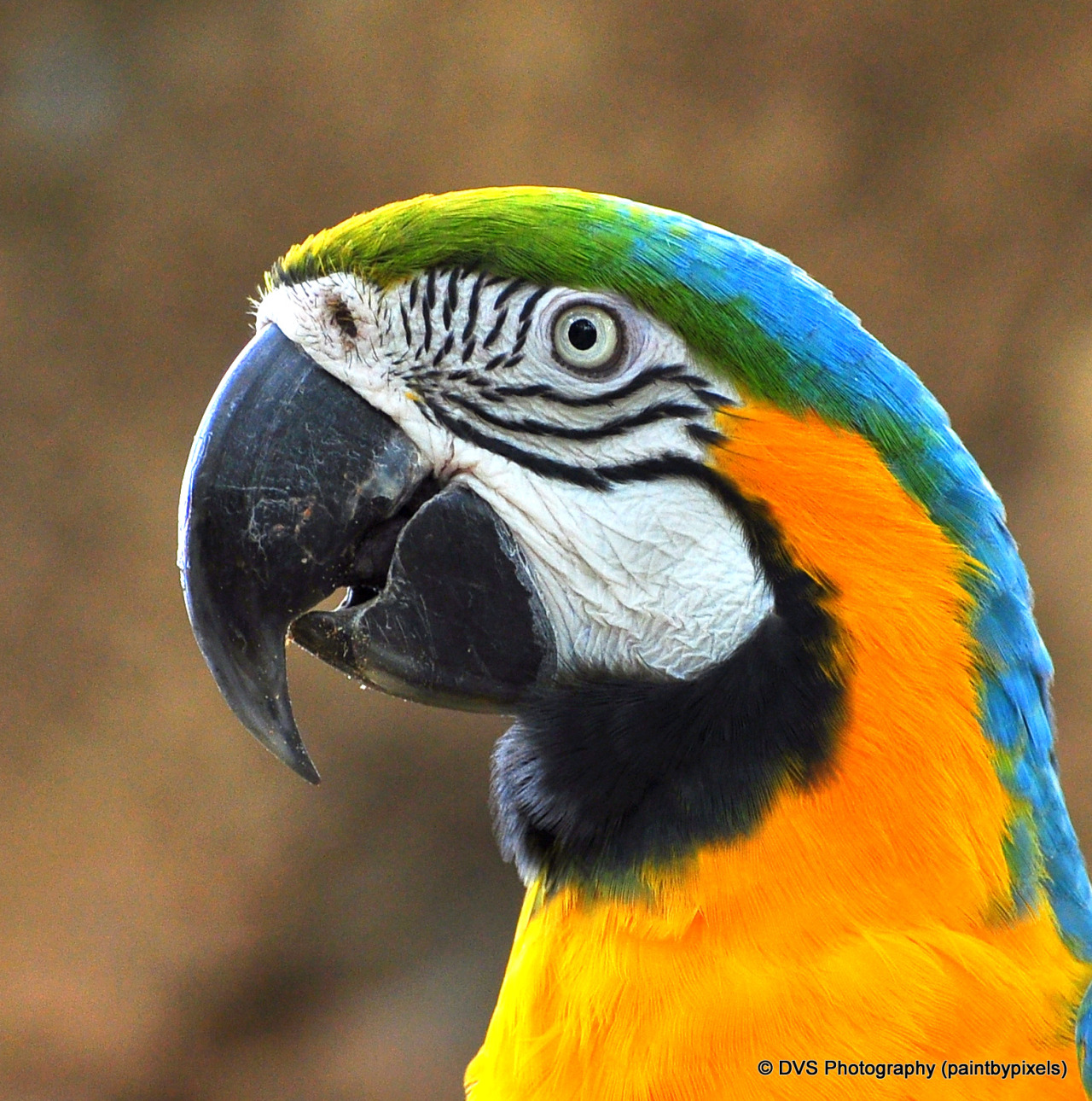 Blue and Gold Macaw/feathers