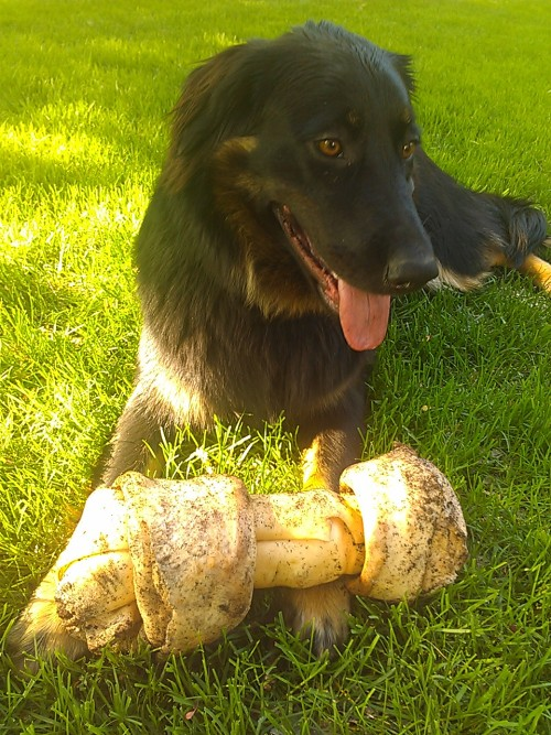 bebroom:  he buried this entire bone over the winter and just dug it up again and he is so happy