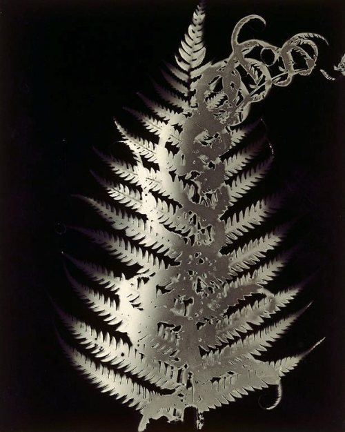 Sue Ford (via Photogram (dark fern, death), (circa 1986) by Sue Ford :: The Collection :: Art Gallery NSW)