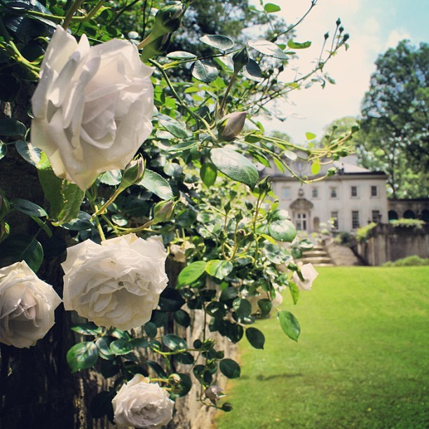 The roses have started blooming in the garden at Swan House.