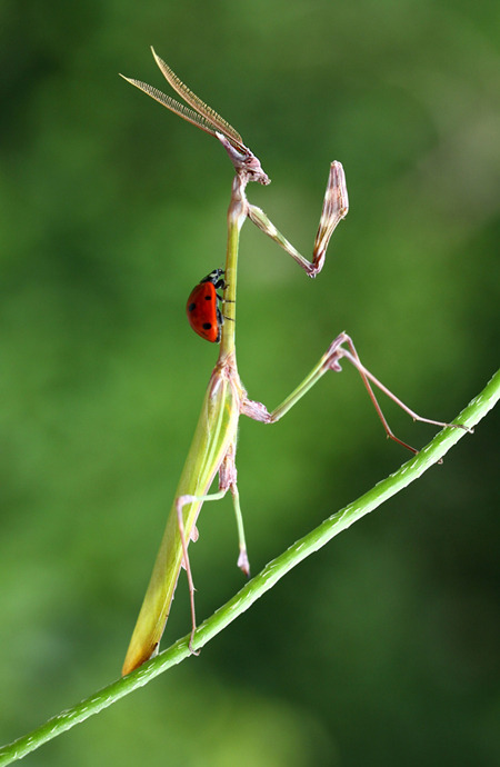 animals-riding-animals:  ladybird riding mantis