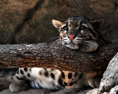 animals-animals-animals:  Clouded Leopard (by Digital-Eyes)