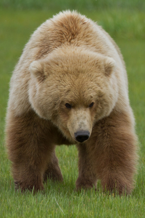 h4ilstorm:  Brown Bear in the Grass (by toryjk)