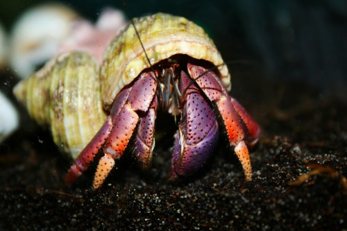 I have 12 hermit crabs in a big aquarium tank. They are definitely my newest obsession. These are two of my most out going crabs. The one with the white'ish  shell is Augusten. The one eating is George Clooney.