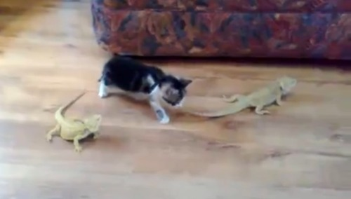 Cat FREAKED OUT BY lizard. Awesome video, click to watch.