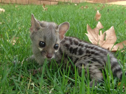 Baby Genets are ridiculously cute!