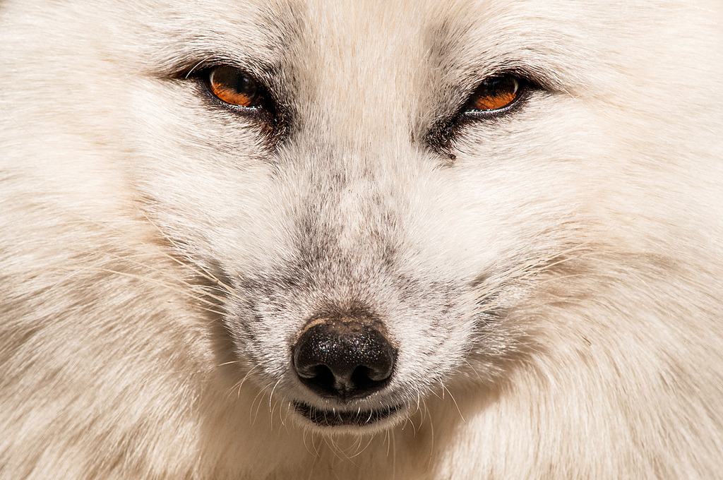 Arctic Fox — sunspotimages