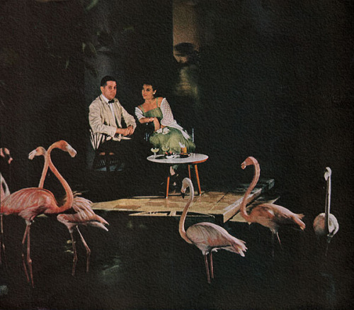 rogerwilkerson:  Dining With Flamingos - 1959