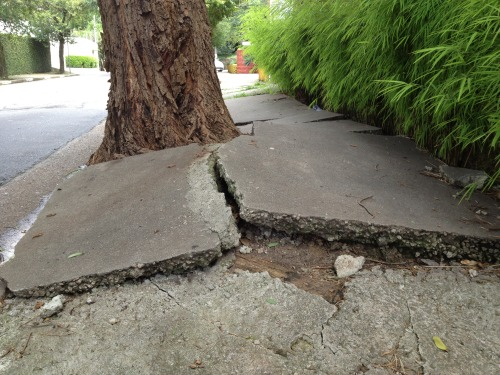 Under the pavement, the trees. São Paulo's trees don't care, they just smash up the pavements all over town with their insistent, silent, neverending T'ai chi ch'uan power. Vila Madalena, this morning.