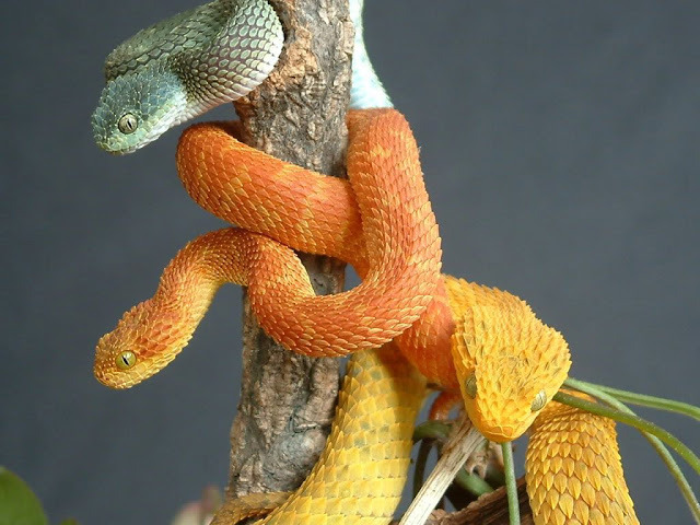 snake-lovers:  Atheris squamigera