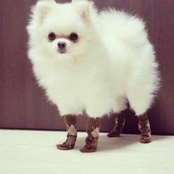 fluffy socks pomeranian