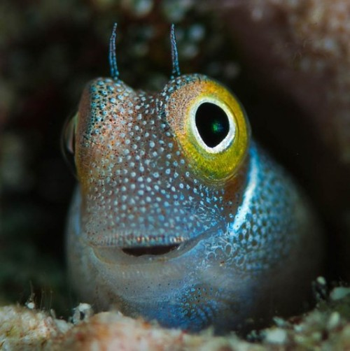 allcreatures:  Photographer Dmitry Marchenko took this photo of a blenny looking pleased with itself, while diving in the waters off Hurghada, Egypt. Picture: Dmitry Marchenko/Solent