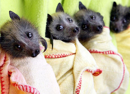 chameleonsounds:  If you don't think fruit bats are the cutest damn things ever then get outta my face.They are tiny dogs with wings and death claws! And they're nocturnal so they are up when most of us on tumblr are up.