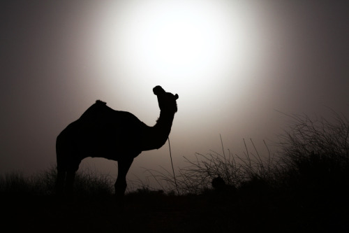Silhouette of a Sleeping Camel