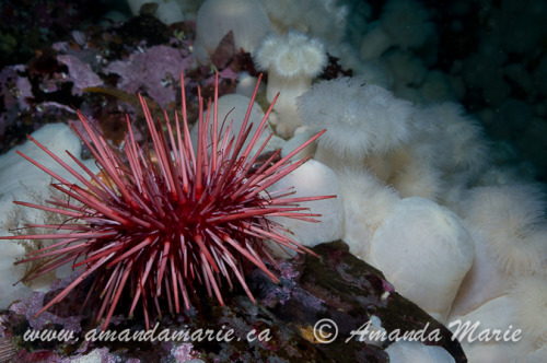 amandamarieblog:  Red Sea Urchin with white Plumose Anemones  Photos taken in Port Hardy, British Columbia, Canada Amanda Marie Photography    Like Me   My Tweets
