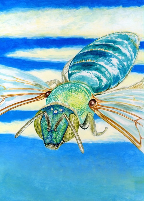 noelbadgespugh:  Agapostemon texanus, WIP, Airborne! . . image for a book, Bees of California, with Gretchen LeBuhn of the Great Sunflower Project