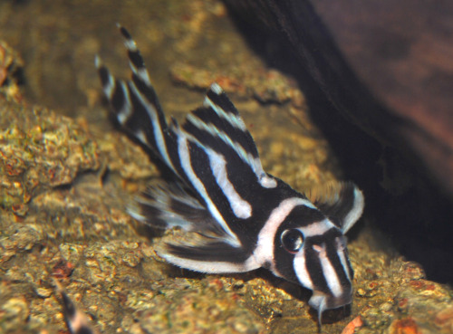 ichthyologist:  Zebra Pleco (Hypancistrus zebra) With over 700 species, Loricariidae is the largest family of catfish. New species are constantly being described. Since it takes a while to establish a proper scientific name, new discoveries are temporarily given a 'L number' by which people can refer to. Birger A, Wikipedia commons