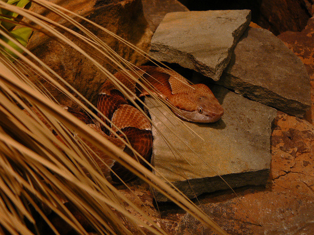 Copperhead on Flickr.Via Flickr: Check out my shop:www.etsy.com/shop/CitySaint Like me on facebook.www.facebook.com/citysaintphoto