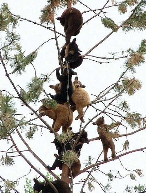 catsbeaversandducks:  Oh, just a bunch of baby bears in a tree, you know. Photo via Metro News