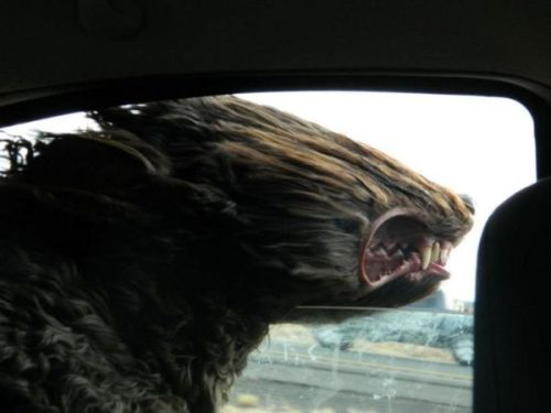 pootee:  Fast Car, Hairy Dog - Neatorama