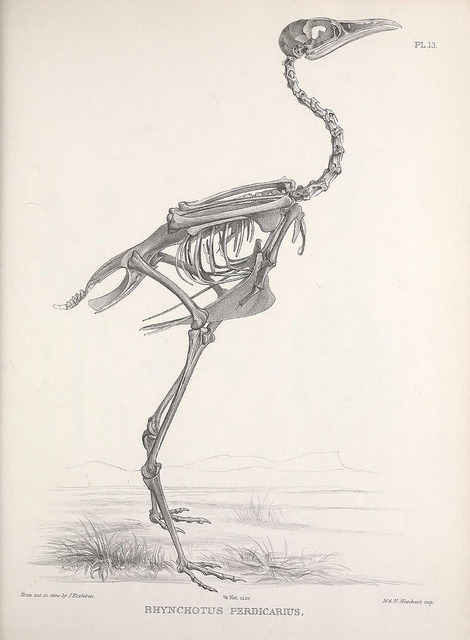 The skeleton of Rhynchotus perdicarius now called Nothoprocta perdicaria the Chilean Tinamou by BioDivLibrary on Flickr. Osteologia avium, or, A sketch of the osteology of birds /.[Wellington] :Published by R. Hobson, Wellington, Salop,1858-1875..biodiversitylibrary.org/page/41399303