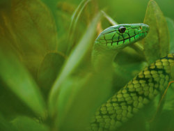 c-ocoon:  Photograph by Mattias Klum Venom from snakes like the Jameson's mamba, seen here in Cameroon, may soon combat heart disease.