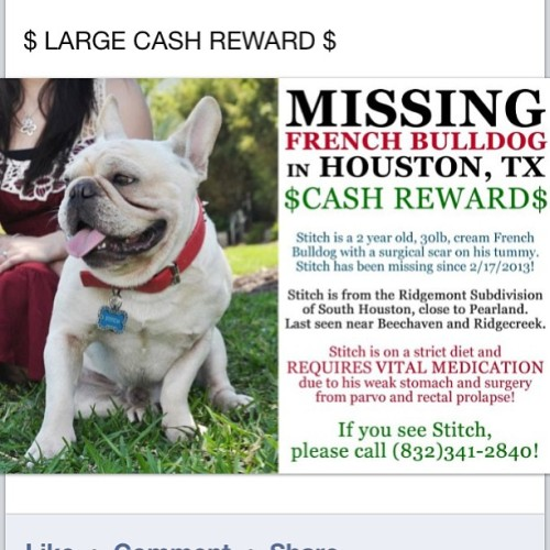 Missing Frenchie in Houston!! Stitch is a 2 y/o frenchie with a surgical scar on his tummy and has been missing since 2/17/13 from South Houston. He requires VITAL MEDICATION so please pass the word along!! Go to the French Bulldog Rescue Network page on Facebook for more info! #missingdog #fbrn #missing #pleasehelp