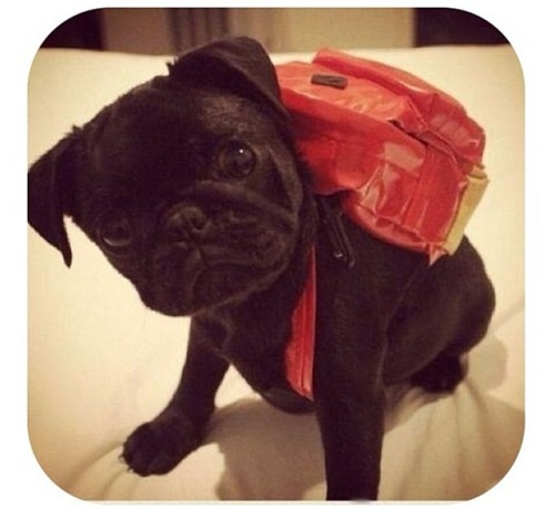 pugblug:  Backpack pug.