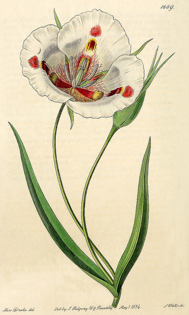 wapiti3:  Calochortus venustus- Bot. Reg. 1669, 1835. on Flickr.  source-Delta Keys