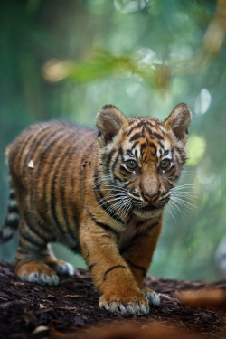 bl-ackleopard:  getawildlife:  Tiger-Baby (by Stiwwe)  ★★ NATURE & WILDLIFE BLOG ★★